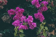 Bougainvillea flowers texture and background. Purple flowers of bougainvillea tree. Close up view of bougainvillea purple flower. Colorful purple flowers Stock Images