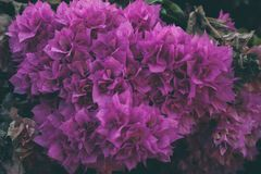 Bougainvillea flowers texture and background. Purple flowers of bougainvillea tree. Close up view of bougainvillea purple flower. Colorful purple flowers Royalty Free Stock Photos