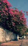 Bougainvillea flowers trellis Stock Photography