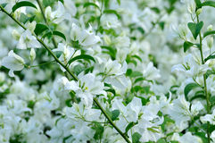 Bougainvillea flowers in white. White milflores flower and leaves, as background Royalty Free Stock Photos