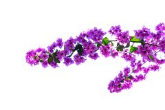 Bougainvillea flowers on white. Bougainvillea branch with violet flowers isolated on white background Royalty Free Stock Photo