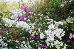 Bougainvillea flowers white and purple color.  Royalty Free Stock Image