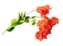 Bougainvillea flowers on white. Bougainvillea red flowers isolated on white background Stock Images