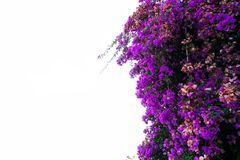 Bougainvillea flowers on white. Bougainvillea violet flowers border isolated on white background Stock Image