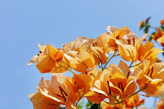 Bougainvillea flowes on blue sky background Stock Image