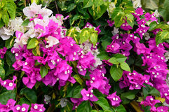 Bougainvillea flowes Stock Photography