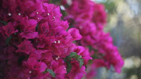 Bougainvillea in full bloom Royalty Free Stock Images