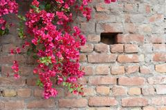 Bougainvillea in full bloom on concrete and brick wall Stock Image