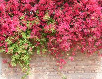Bougainvillea in full bloom on concrete and brick wall Stock Images