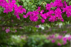Bougainvillea in a garden Royalty Free Stock Image