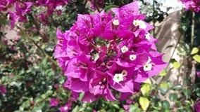 Bougainvillea in the garden. stock video footage