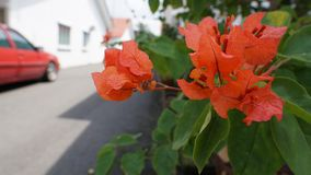 Bougainvillea. Is a genus of thorny ornamental vines, bushes, and trees with flower-like spring leaves near its flowers. Different authors accept between four Royalty Free Stock Photography