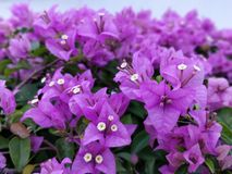 Bougainvillea. Is a genus of thorny ornamental vines, bushes, and trees with flower-like spring leaves near its flowers. Different authors accept between four Royalty Free Stock Photo
