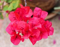 Bougainvillea. Is a genus of thorny ornamental vines, bushes, and trees with flower-like spring leaves near its flowers. Different authors accept between four Stock Photos
