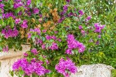 Bougainvillea glabra bracts. Bracts of purple bougainvillea glabra Royalty Free Stock Photo