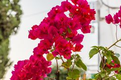 Bougainvillea glabra bracts. Bracts of red bougainvillea glabra Royalty Free Stock Image