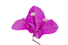 (Bougainvillea glabra Choisy)Plant, leaf form and texture Royalty Free Stock Images