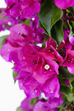 Bougainvillea glabra, paperflower, close-up Royalty Free Stock Images