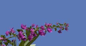 Bougainvillea  glabra 'Sanderiana' flowering in Summer Royalty Free Stock Photos