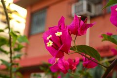 Bougainvillea glabra royalty free stock image