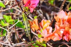 Bougainvillea with grasshopper Stock Photos