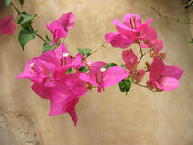 Bougainvillea greece Royalty Free Stock Images