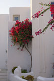 Bougainvillea in Greece Stock Image