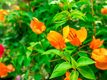 Bougainvillea. In the green background Stock Photo