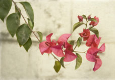 Bougainvillea on grey wall Royalty Free Stock Photo