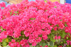 Bougainvillea Royalty Free Stock Photography