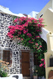 Bougainvillea growing. Up the side of a house Santorini Stock Photo