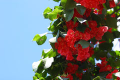 Bougainvillea - Hawaiian Scarlet Variety. Against a beautiful blue sky stock photo