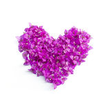 Bougainvillea Heart. A flower bougainvillea heart on white background Stock Photos