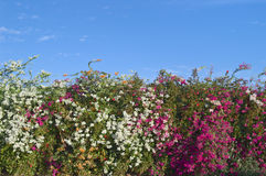 Bougainvillea Hedge Stock Images