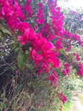 Bougainvillea Hedge Royalty Free Stock Images