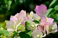 Bougainvillea hybrida or Bougainvillea, Paper flower, Paper Flow Royalty Free Stock Image