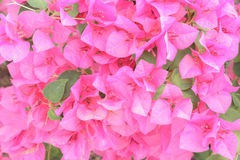 Bougainvillea / hybrida/paper flower Royalty Free Stock Image
