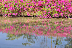 Bougainvillea hybrida or paper flower plant Royalty Free Stock Images