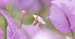 Bougainvillea hybrida,thailand Royalty Free Stock Photos