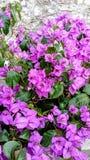 Bougainvillea i blom royaltyfri foto
