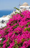 Bougainvillea in Ia , Santorini. Stock Photos
