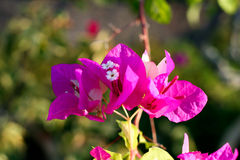 bougainvillea II Royalty Free Stock Images