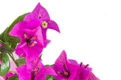 Bougainvillea II Stock Images