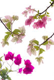 Bougainvillea Isolate Stock Photo