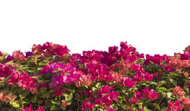 Bougainvillea Isolated Royalty Free Stock Photos