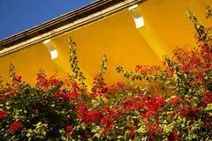 Bougainvillea kolorowi kwiaty Zdjęcia Royalty Free