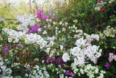 Bougainvillea kwiatów biały i purpury kolor obraz royalty free
