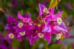 Bougainvillea kwiat zdjęcia stock