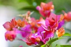 Bougainvillea kwiat Zdjęcie Stock