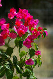 Bougainvillea kwiat Fotografia Royalty Free